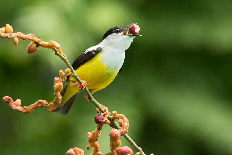 White-collared Manakin (Manacus candei) male feeding from fruits at the lowlands of Costa Rica.