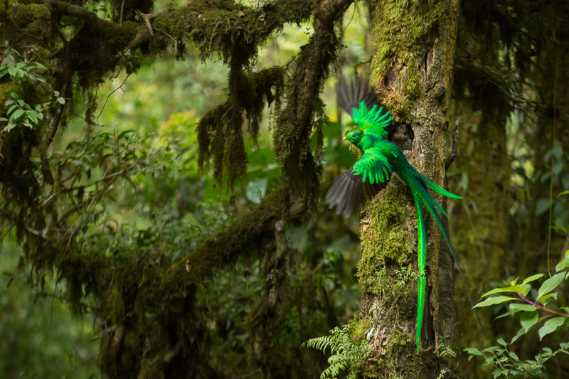 Resplendent Quetzal (Pharomachrus mocinno) feeding chick in nest Feature