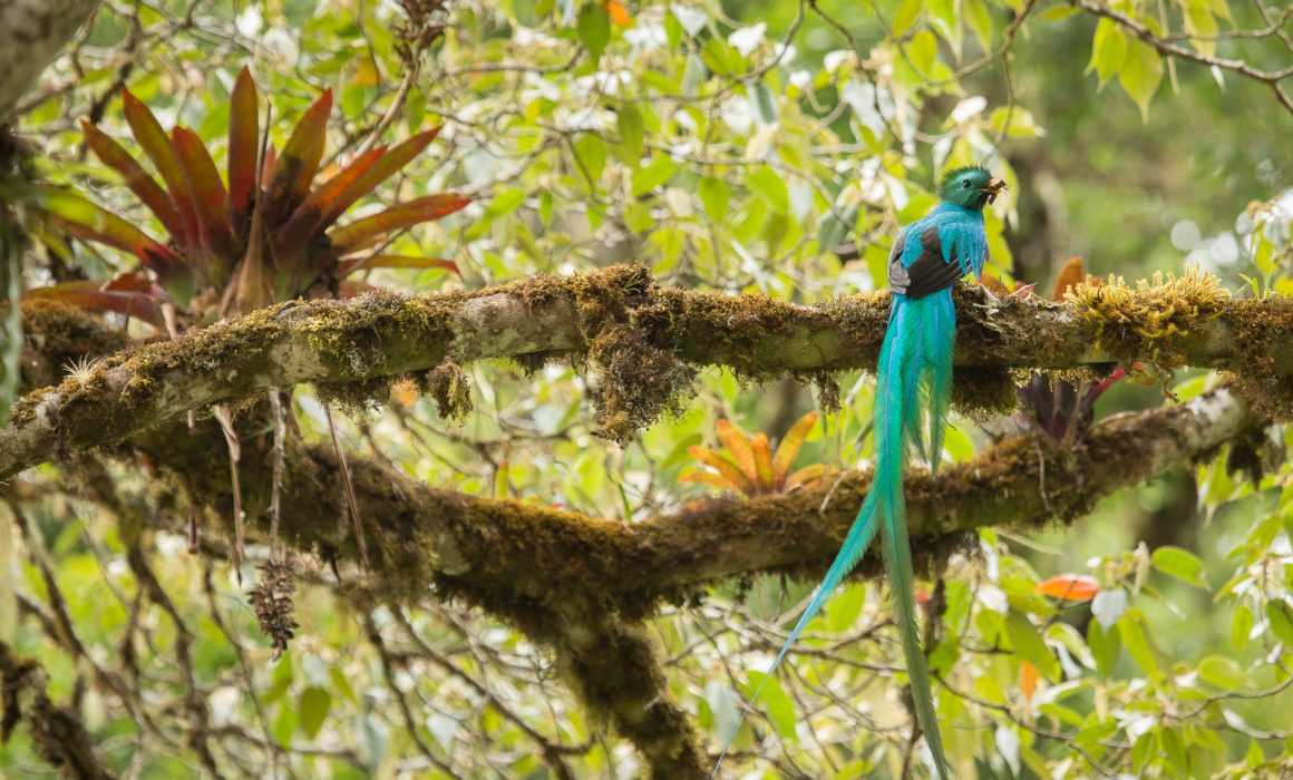 Resplendent Quetzal (Pharomachrus mocinno) with cricket at the highlands of Costa Rica, Cerro de la muerte, San Gerardo de Dota