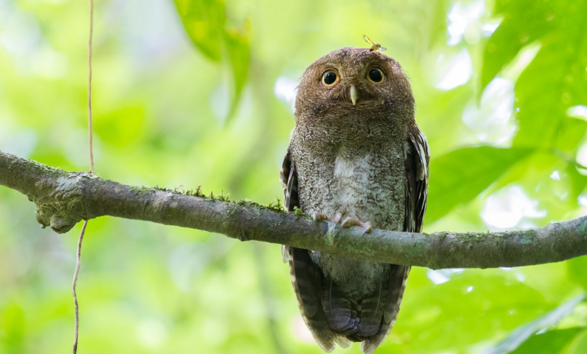Vermiculated Screech-Owl perched on a branch with a bee in the lowlands of Costa Rica