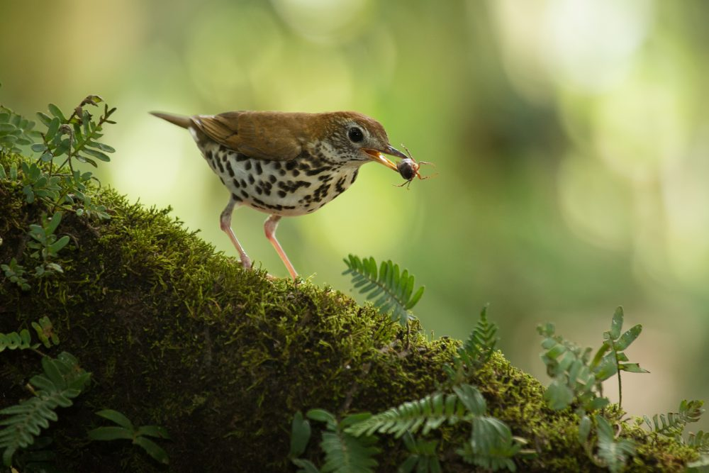 Wood Thrush (Hylocichla mustelina) with beetle at the low lands of Costa Rica, Guapiles